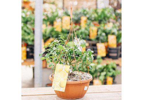 Record Buck Farms Citrus Terra Cotta Hanging Basket