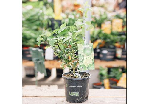 Record Buck Farms Key Lime Thorny 1gal