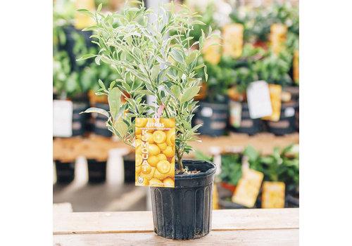 Record Buck Farms Kumquat Centennial Variegated 1gal