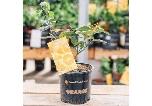 Record Buck Farms Orange Hamlin 1gal