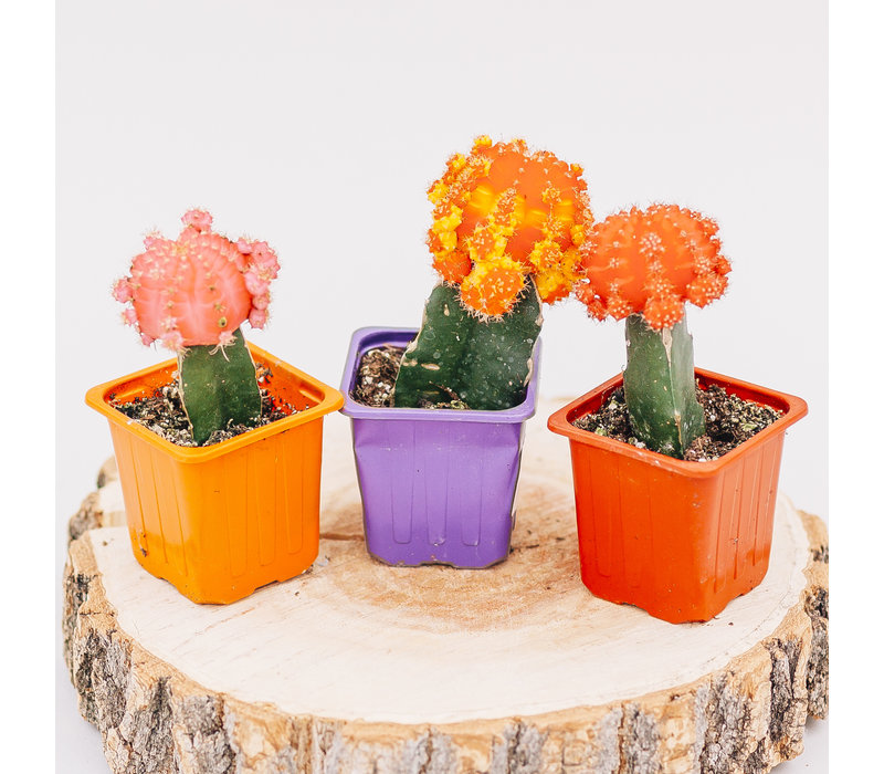 Cactus Grafted