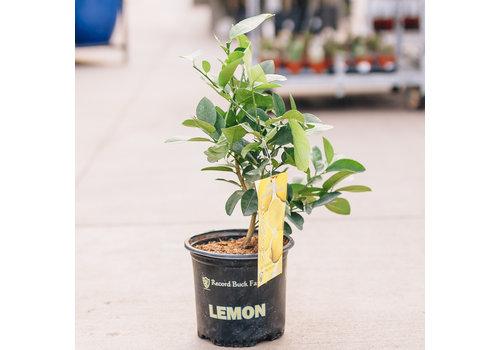 Record Buck Farms Lemon Ponderosa