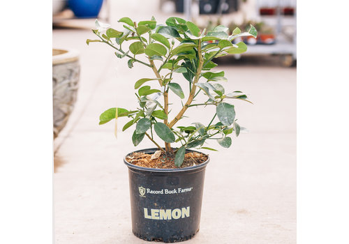 Record Buck Farms Lemon Ponderosa Bush 5gal