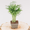 Dutch Growers Palm Neanthe Bella