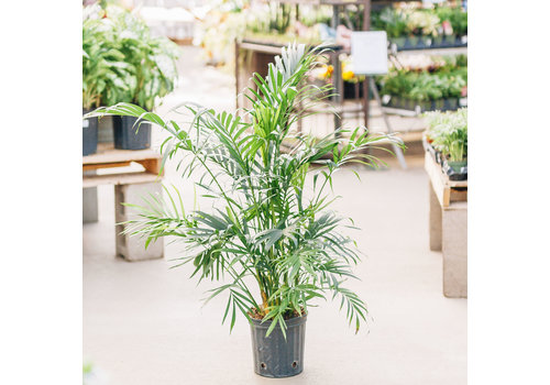"""Palm Cataractarum 10"""""""