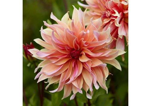 Dahlia Labyrinth Bulbs
