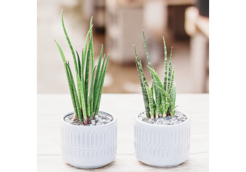 Dutch Growers Two Is Better Than One Potted Snake Plants