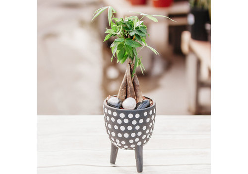 Dutch Growers Your Good Luck Charm Potted Money Tree