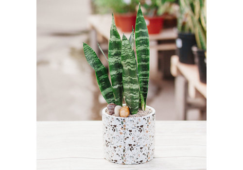Dutch Growers Chic' Potted Snake Plant