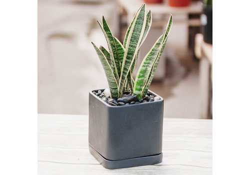 Dutch Growers Tall Dark and Handsome Potted Snake Plant