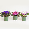 Dutch Growers African Violet 4""
