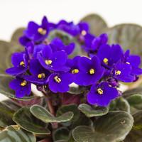 """African Violet 4"""""""