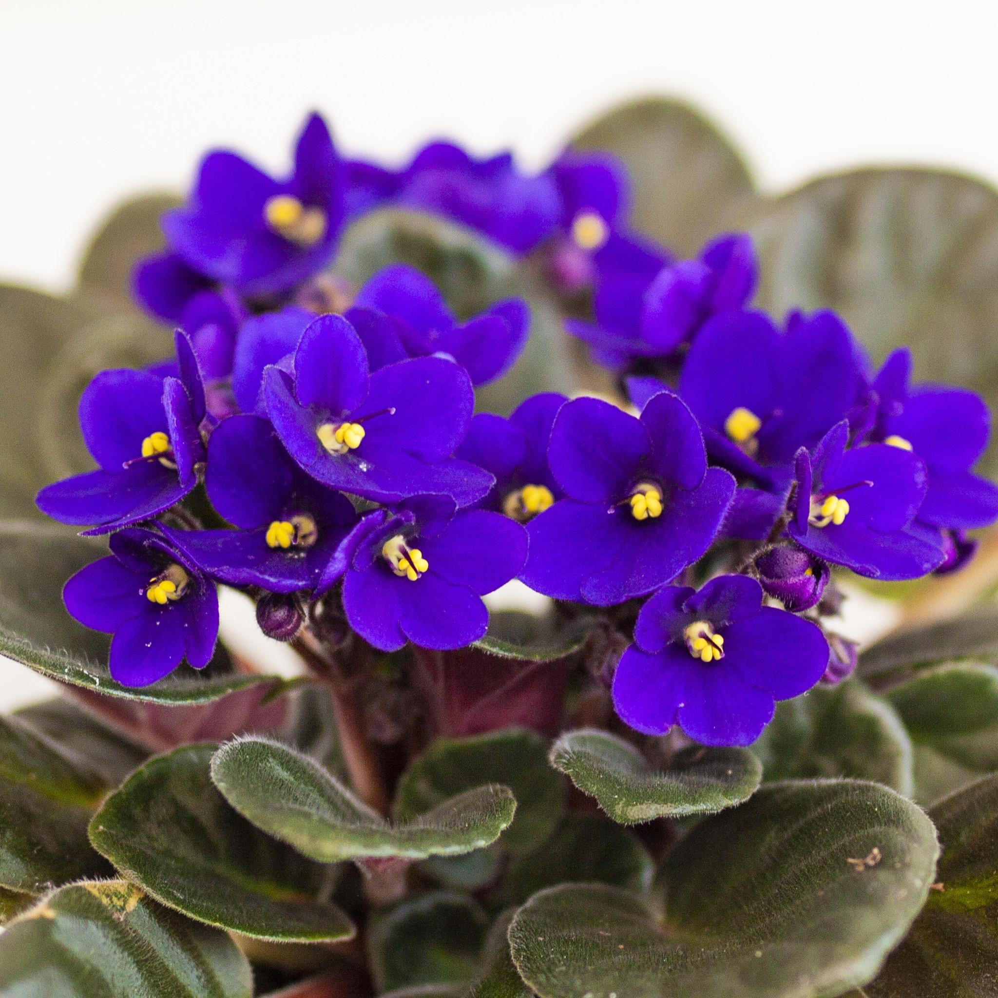 Purple African Violets  flowering succulent LIVE PLANT
