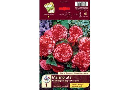 Begonia Nov Marmorata Bulbs