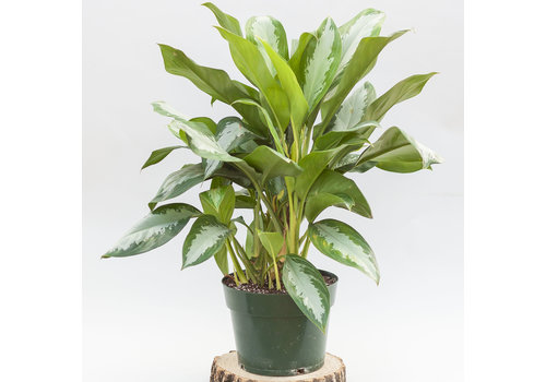 Chinese Evergreen 10""