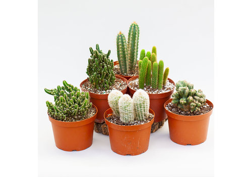 Cactus Assorted