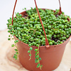 Dutch Growers String of Pearls