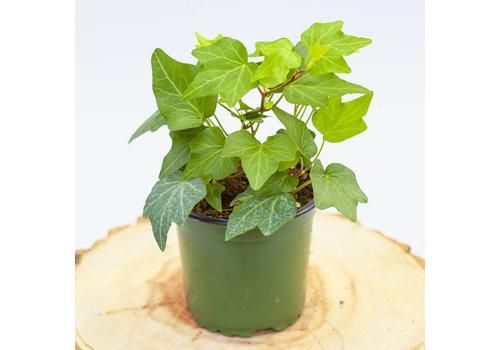 English Ivy Green