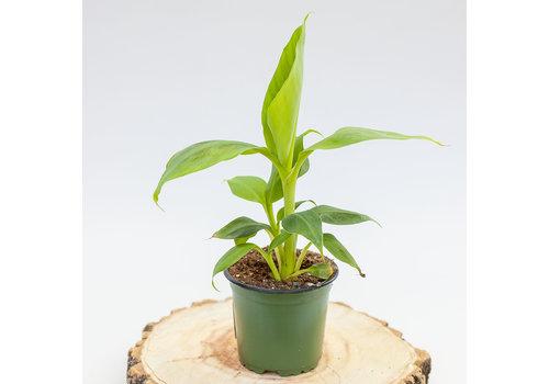 Dutch Growers Banana Cavendish