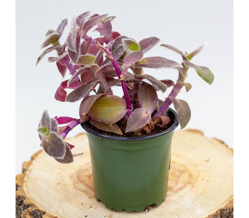 "Purple Inch Plant 4"""