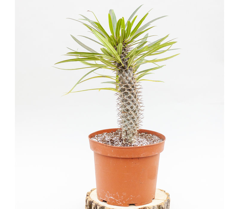 Premium Cactus