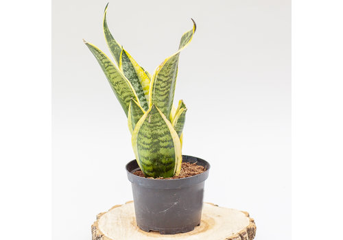 Dutch Growers Snake Plant Laurentii