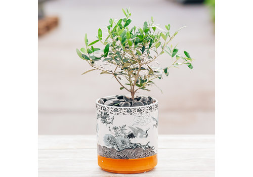 Dutch Growers Your friend Olive Potted Olive Tree