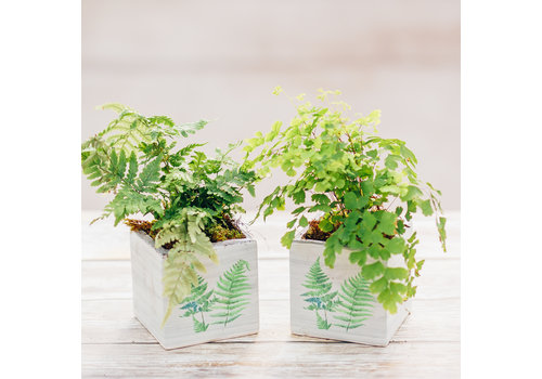 Dutch Growers Assorted Potted Fern