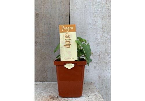 """Fragro Catnip 3.5"""" Herb"""