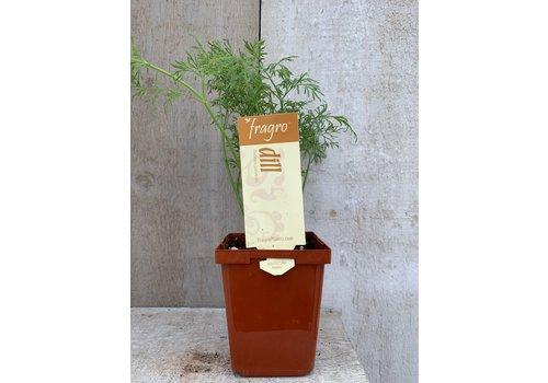 "Fragro Dill 3.5"" Herb"