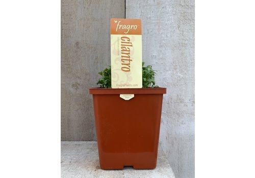 "Fragro Cilantro 5.5"" Herb"