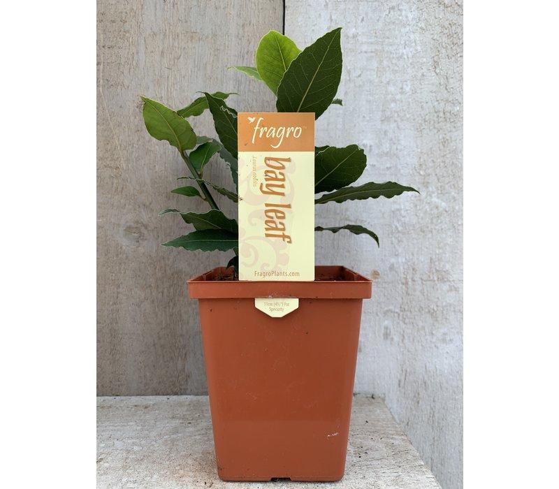 """Bay Leaf 4.5"""" Specialty Herb"""
