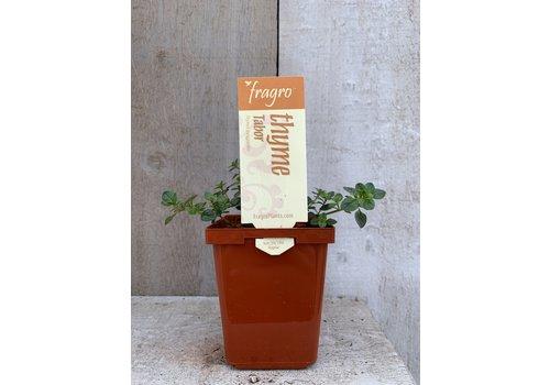 """Fragro Thyme Tabor 3.5"""" Herb"""