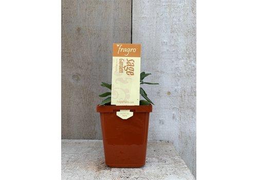 """Fragro Sage Garden 3.5"""" Herb"""