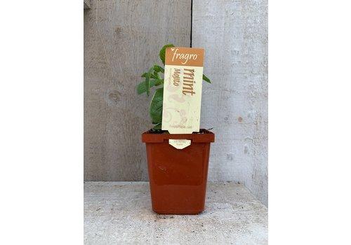 "Fragro Mint Mojito 3.5"" Herb"
