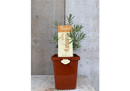 "Fragro Rosemary Foxtail 3.5"" Premium Herb"