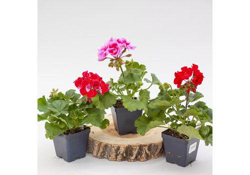 Dutch Growers Geranium Zonal