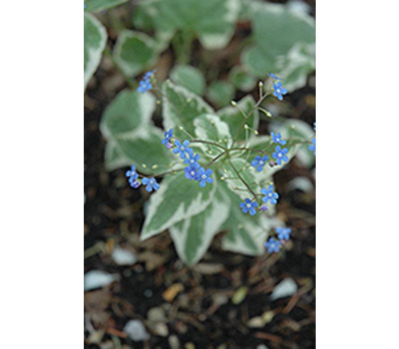 Bugloss Siberian Variegated