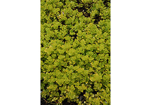 Creeping Jenny Aurea Golden