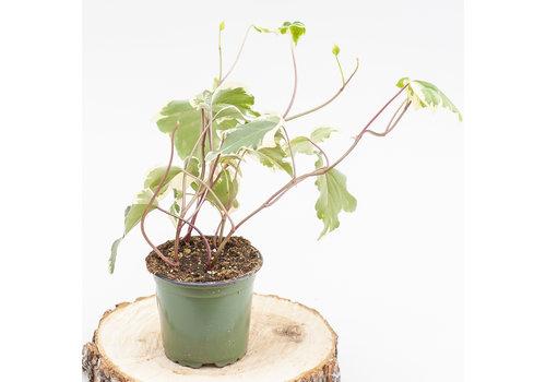 """Dutch Growers Ivy Marengo 4"""""""