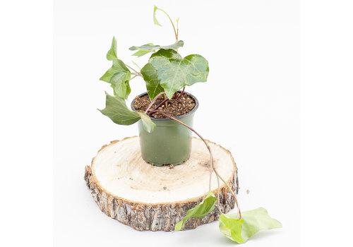 "Dutch Growers Ivy Algerian 4"""