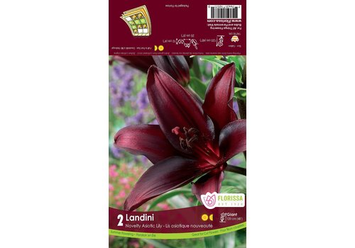 Lily Asiatic Landini Bulbs