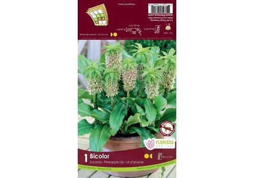 Eucomis Bicolor Bulbs