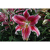 "Lily Oriental Stargazer Pink 5.5"""