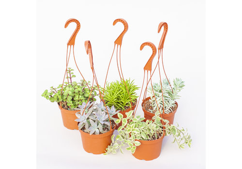 "6"" Assorted Succulent Hanging Basket"