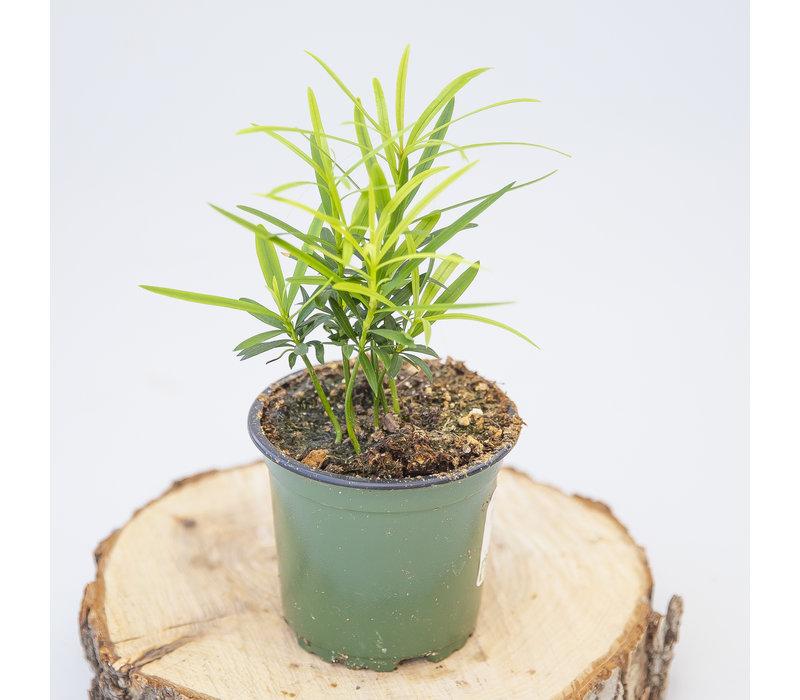 "Buddhist Pine 4"""