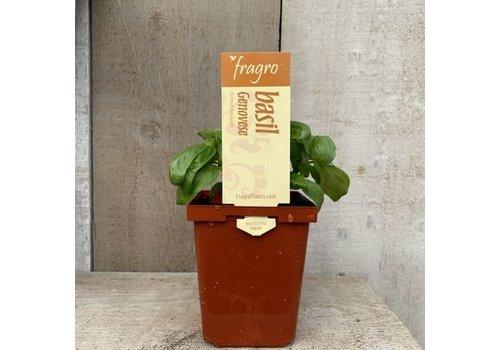 "Fragro Basil Genovese 3.5"" Herb"