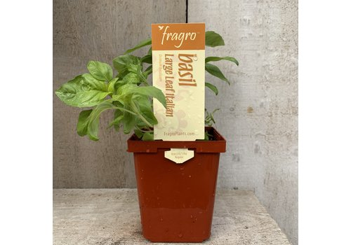 "Fragro Basil Large Leaf Italian 3.5"" Herb"