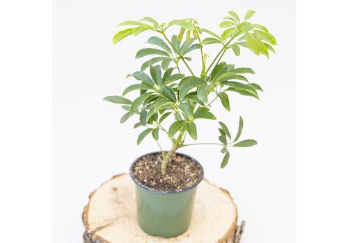"Dutch Growers Umbrella Plant Bush 4"""