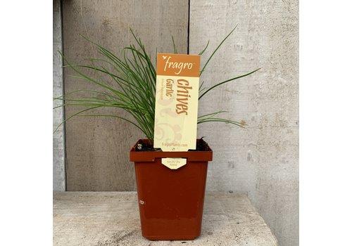 "Fragro Chive Garlic 3.5"" Herb"